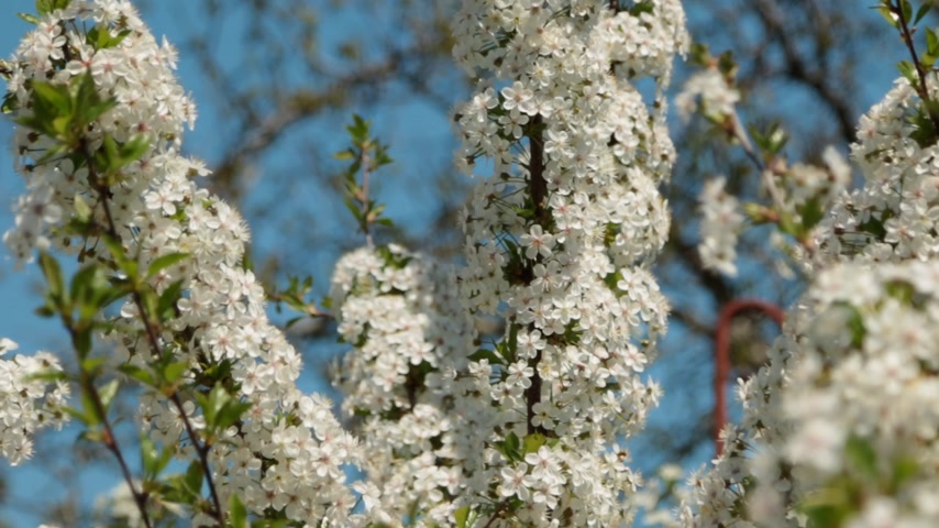 flowery : Panorama cherry blossom branches. Flowering branch is completely covered with flowers.