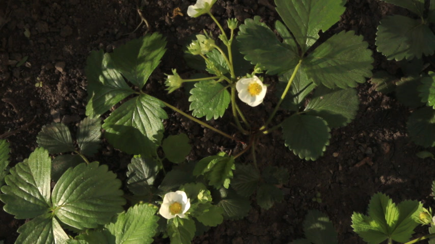 aproximação : Blossoming strawberry flowers in the garden, top view.