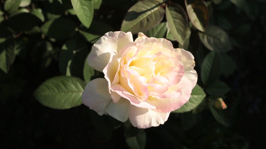 selamlar : Blossoming roses flowers in the garden, top view. Stok Video