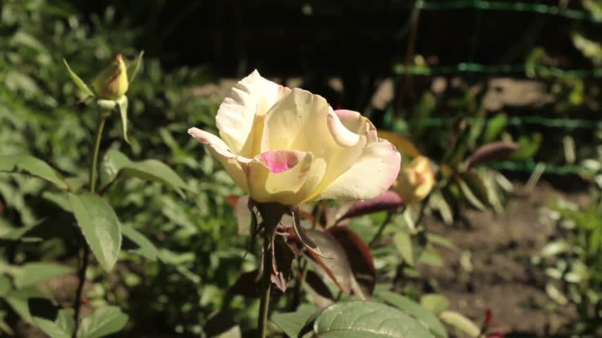 bud rose : Consider a blooming rose from the top down.
