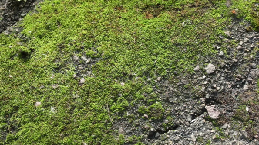 liken : Panorama fresh green moss. Texture and background. Stok Video