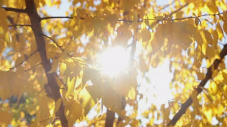 абрикосы : Colorful yellow autumn leaves at daylight sky with sun flare rays.