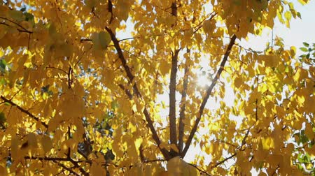 абрикосы : Rays of the sun through the yellow autumn leaves of apricot. The beauty of autumn Стоковые видеозаписи