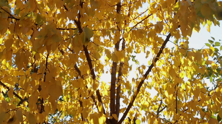 meruňka : Colorful yellow autumn leaves at daylight sky with sun flare rays.