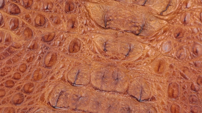 skin brown : Rotation, close-up of the structure of natural crocodile skin.