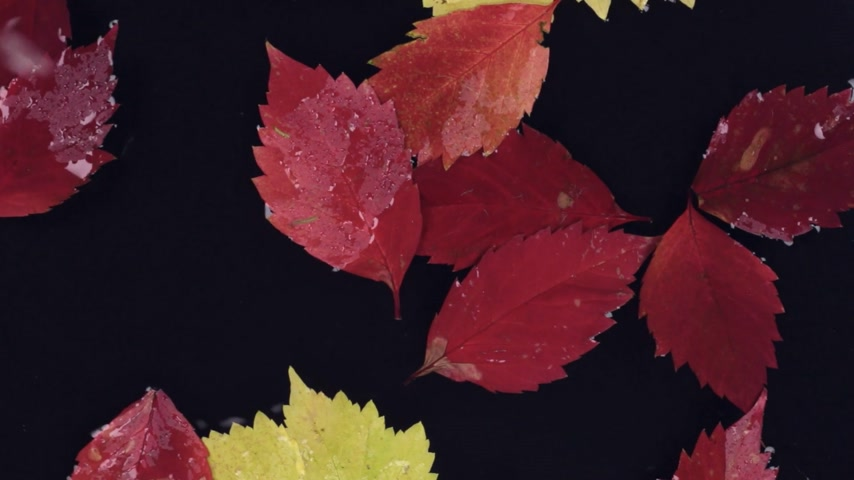 incidence : Raindrops fall into the water with floating red and yellow leaves.