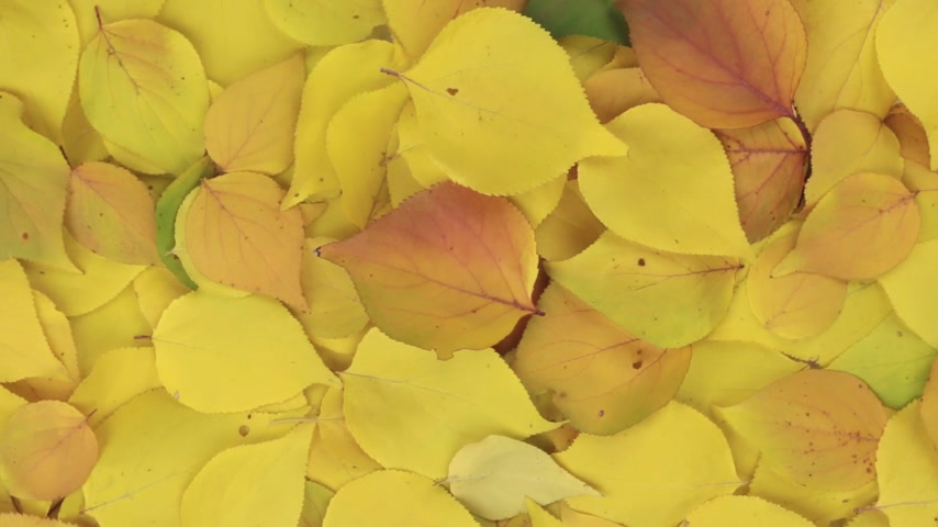 incidence : Falling leaves falling on rotating autumn leaves. Stock Footage