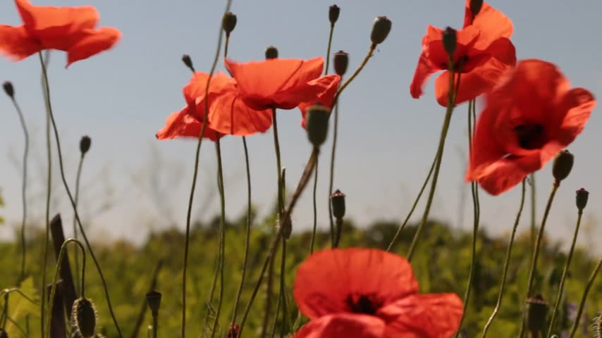 escarlate : Wind shakes poppy flowers against the blue sky and the sun. Rural landscape