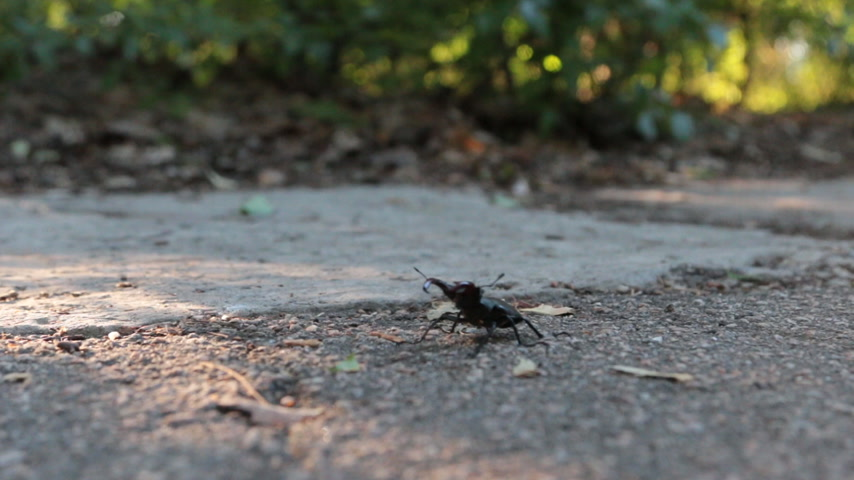 terrestre : Stag beetle big bug (Lucanus cervus) crawling on the ground. Stock Footage