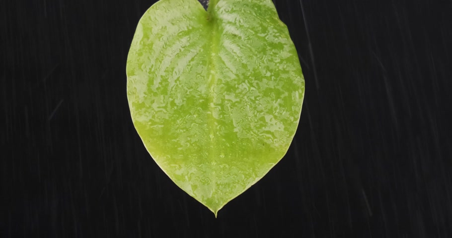 Close-up, raindrops falling on a green leaf. Streams of water flow down the sheet. Stok Video