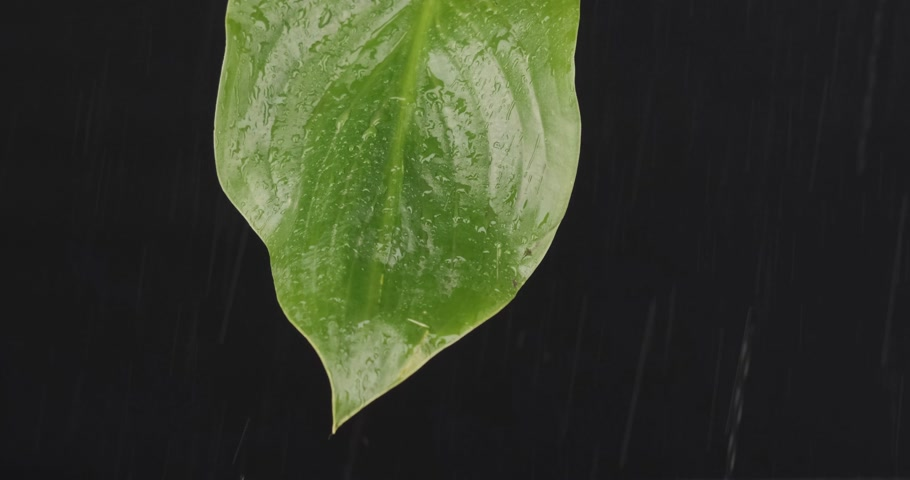 único : Close-up, raindrops falling on a green leaf. Streams of water flow down the sheet. Stock Footage
