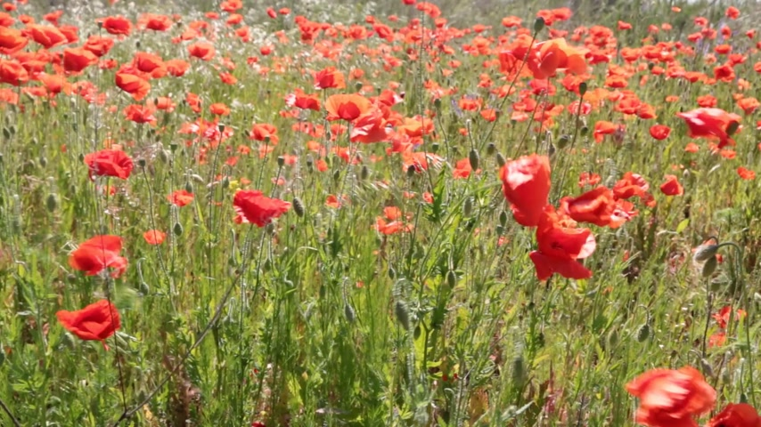 Poppy flowers swaying in a gust of wind. A field of poppies.