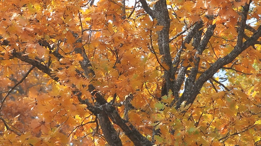 oak forest : autumn leaves