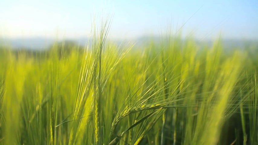 pasture land : barley Stock Footage