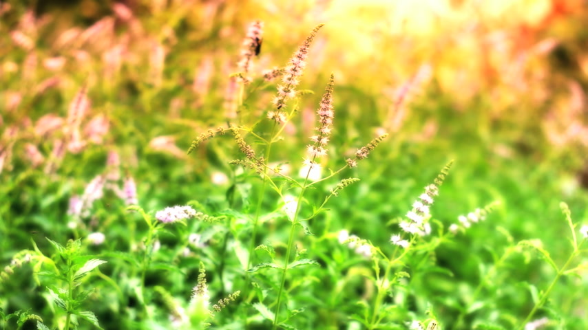 herbal : herbal mint Stock Footage
