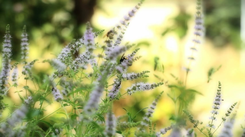 melissa officinalis : herbal mint Stock Footage