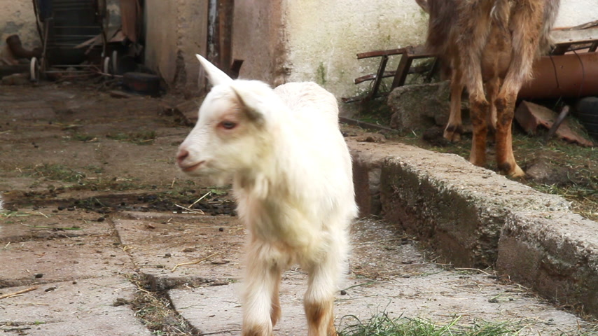 cabra : goats Stock Footage