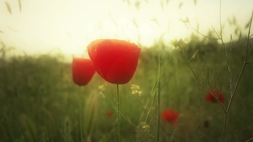 haşhaş : poppy flowers in field