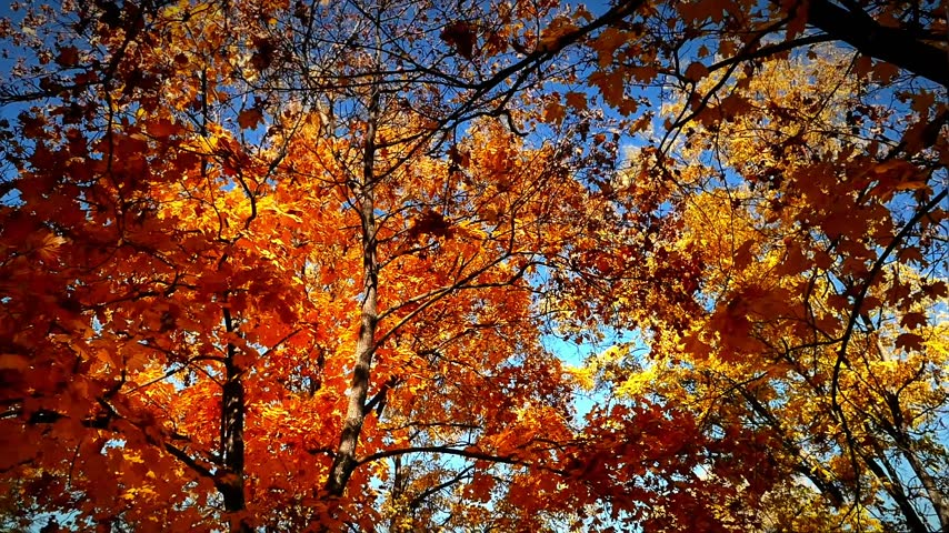 red maple : autumn walk in forest Stock Footage