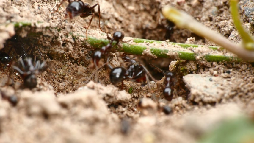 муравей : black ants in the nest 4k