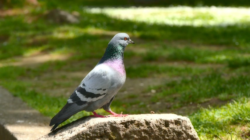 rock dove : pigeons in park 4k Stock Footage