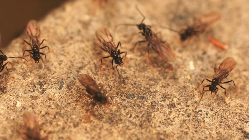 queen ant : ants with wings 4k Stock Footage