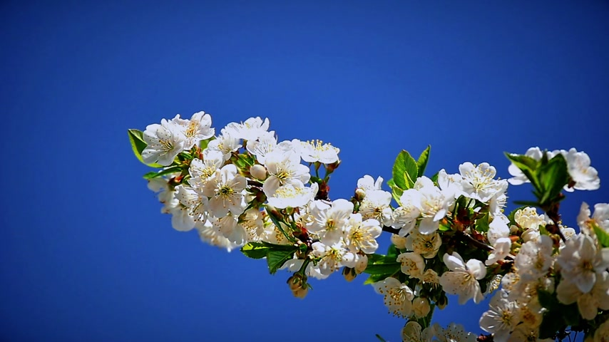 oriental cherry tree : Flowers of Japanese cherry blossoms