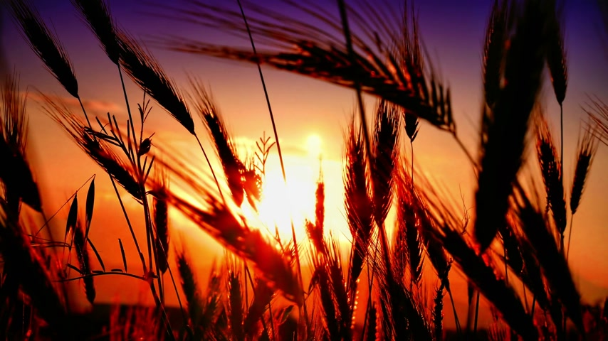 cores vibrantes : sunset grass in filed 4k