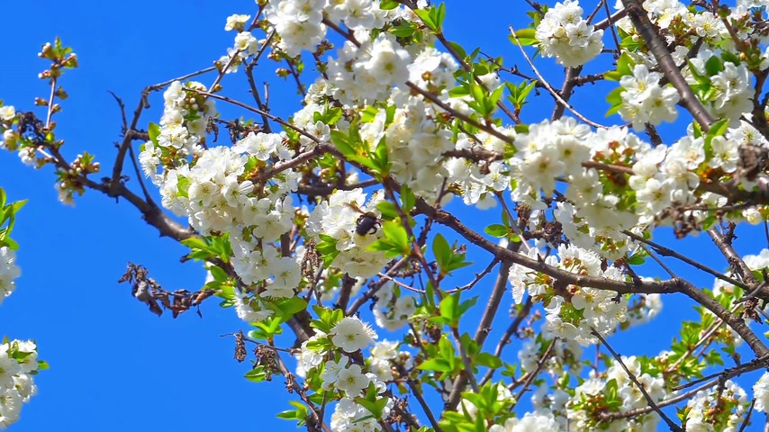 florescente : spring flowers on tree slow motion