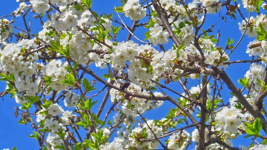 növénytan : spring flowers on tree slow motion