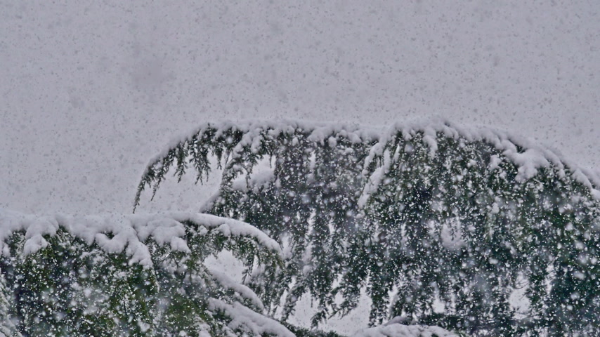 snow covered spruce : strong snowfall at pine tree
