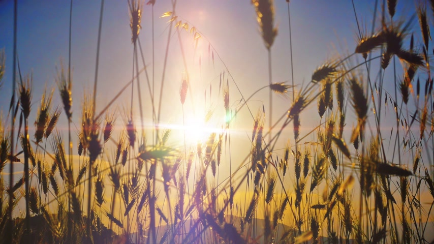 reszelt : sunset grass in filed 4k