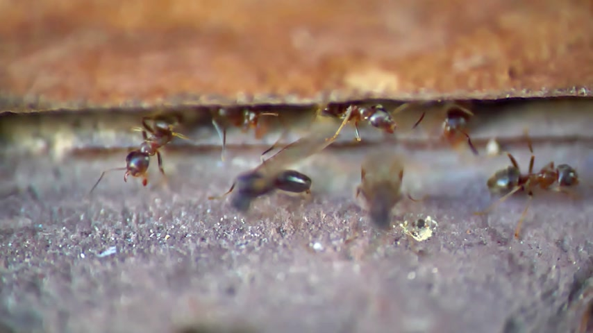 flying ants : ants wings macro, slow motion Stock Footage