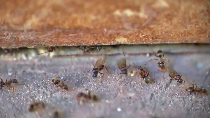 artrópode : ants wings macro, slow motion Vídeos