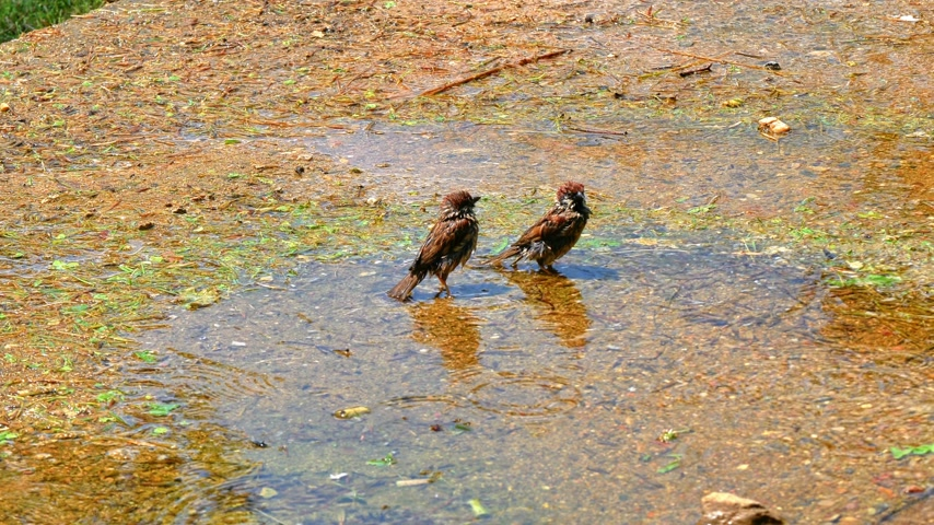 young sparrow : The sparrow bathes in a puddle 4k
