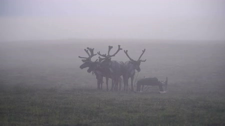 var : Deers in mist. Tundra, polar day.