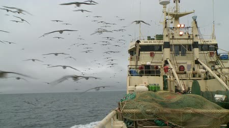 fishing industry : Seagulls soar behind a board of the fishing trawler.