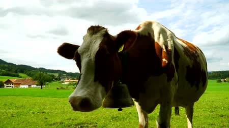 Cow with a bell grazing on Alpine meadows in the district of Gruyeres, Switzerland.