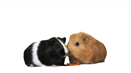świnka morska : guinea pig eating carrot on white background
