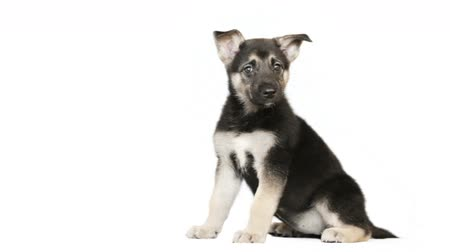 щенок : Shepherd puppy sitting on a white background Стоковые видеозаписи