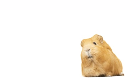 świnka morska : guinea pig says on a white background Wideo