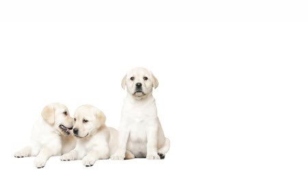 щенок : Three golden labrador puppy on a white background