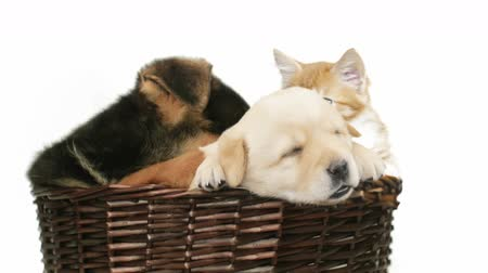 щенок : Labrador and German Shepherd puppies and ginger cat in a wicker basket on a white background Стоковые видеозаписи