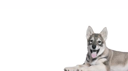 щенок : Husky on a white background
