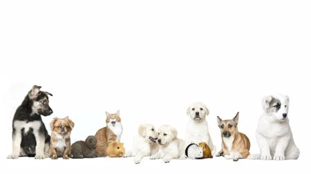 świnka morska : group of pet on a white background Wideo