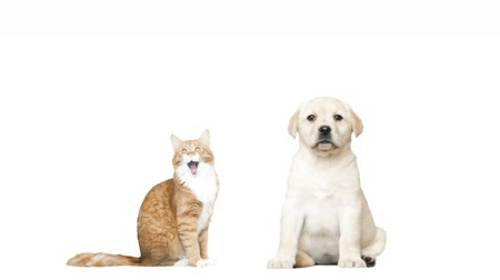 evcil hayvanlar : Labrador puppy and red cat on a white background Stok Video