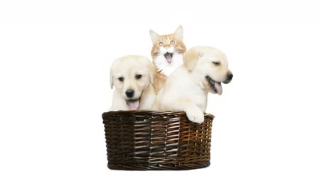 kotě : two labrador puppy and a cat in a wicker basket on a white background