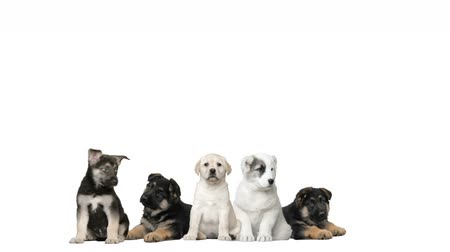 щенок : puppies on a white background Стоковые видеозаписи