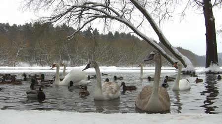 winter place : swans and ducks in the winter pond Stock Footage