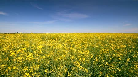 tohum : Rape field, Rape swaying in the wind Stok Video